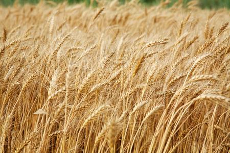 harvest background: Close up stalks of wheat, grain harvest background