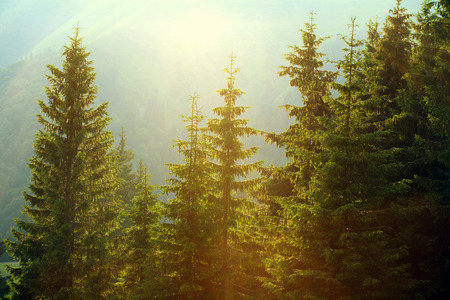 Sunlight in spruce forest in the fog on the background of mountains, at sunset