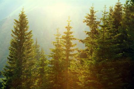 Sunlight w lesie świerkowym we mgle na tle gór, o zachodzie słońca