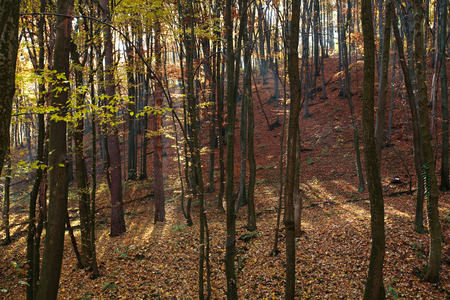foliar: Autumn forest lit by sunlight through the trees