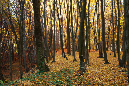 foliar: Autumn forest covered with fallen yellow leaves Stock Photo