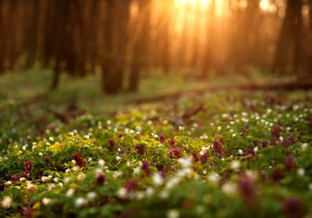 sol radiante: Floración bosque verde en la puesta del sol, la primavera la naturaleza de fondo