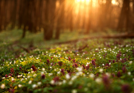 morning sunrise: Flowering green forest on sunset , spring nature background Stock Photo