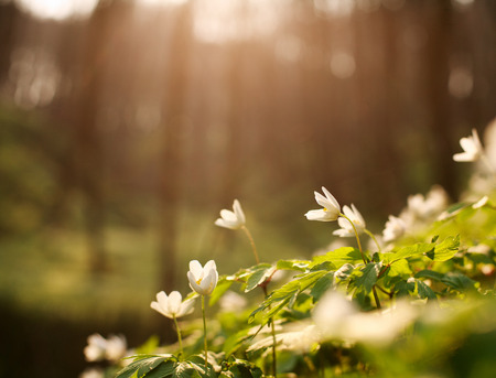 Blooming flowers in a sunny green spring forest