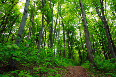 foliar: Path in a green deciduous forest, nature background
