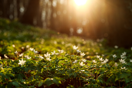 Spring awakening of flowers and vegetation in the forest against the background of the setting sun Stok Fotoğraf