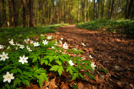 Path way in the blossoming spring forest, nature background Stok Fotoğraf
