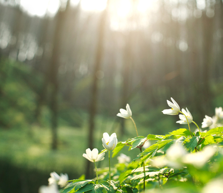 Spring white flowers blooming in the forest on a background of dawn light