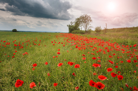 Field of wild flowering red poppies in the countryside on the sky background Archivio Fotografico