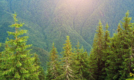 Green spruce trees on the background of a mountain pine forest Stock Photo