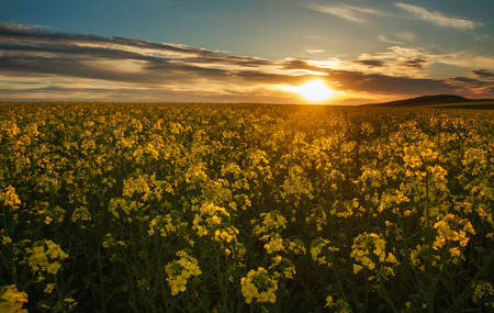 Blooming yellow fields of rapeseed  flowers in the countryside at sunset sky