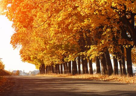 Landscape yellow leaves autumn trees along the asphalt road