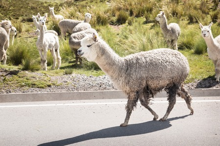Dirty smiling llama on a road in Pery