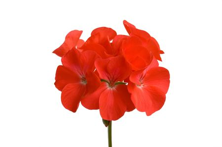 Red geranium flower on a white background (Isolated) photo