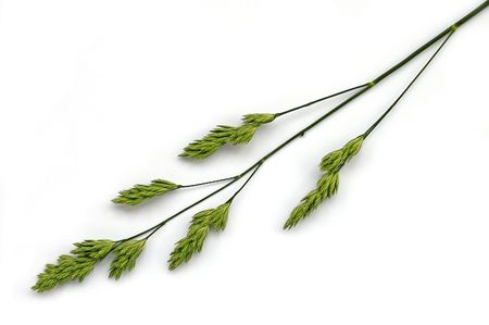panicle: Flowering panicle green weed on a white background