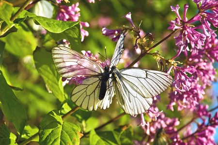 Two white butterflies on a background of lilac flowers, green leaves and blue sky photo