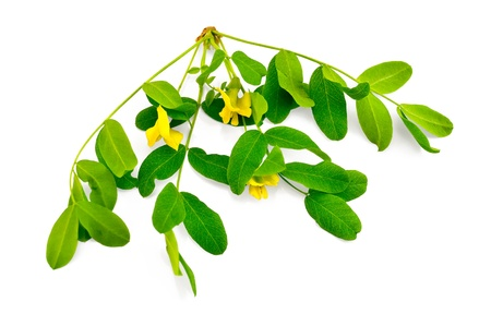 Sprig of acacia blossoms with yellow flowers and green leaves isolated on white background Stock Photo - 10099509