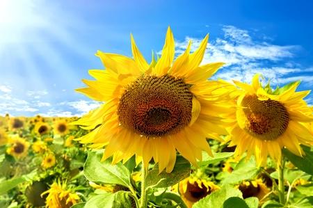 sol radiante: Dos girasoles en un campo de fondo con girasoles amarillos, azul cielo, las nubes blancas y sun Foto de archivo