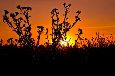 Orange sky and yellow sun against the background of a flowering bush thistle photo