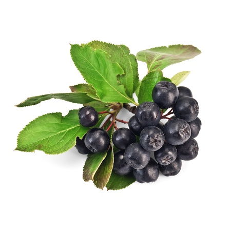 Brush chokeberry with green leaves isolated on white background