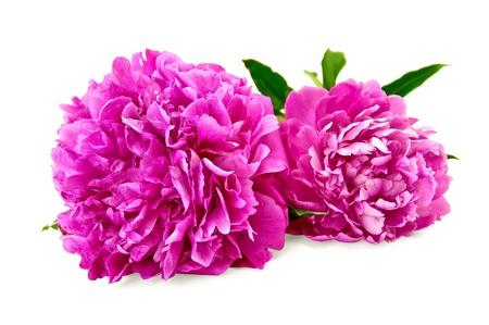 흰색 배경에 고립 녹색 잎을 가진 두 개의 밝은 분홍색 모란 스톡 콘텐츠