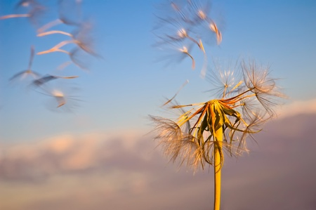 The golden dandelion with flying seeds against the blue sky and pink clouds photo