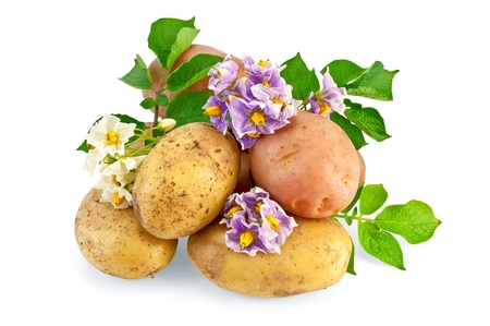 Yellow and pink tubers with white and purple flowers, green leaves isolated on white background photo