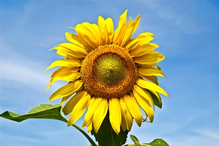 Yellow sunflower with green leaves against the blue sky photo