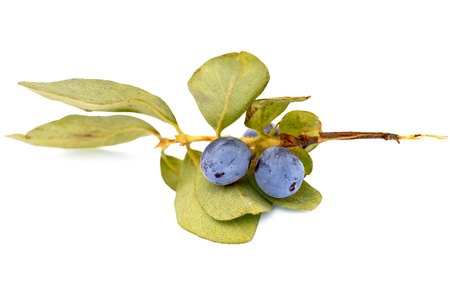 Blue honeysuckle berries on a branch with green leaves isolated on white background photo