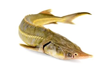 Sturgeon fish isolated on white background Stock Photo