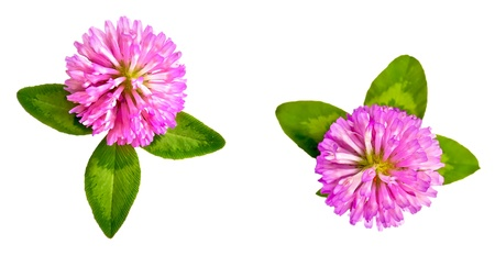 Two pink clover flower with green leaves isolated on white background Stock Photo - 14500691