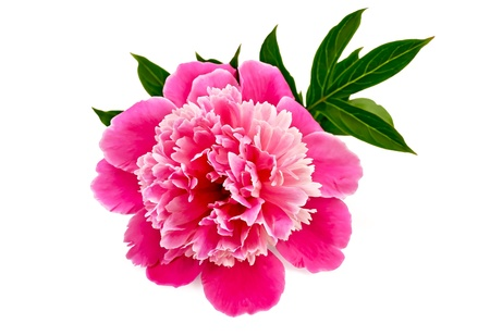 Pink peony with green leaves isolated on white background