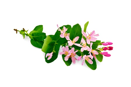 honeysuckle: Two sprigs of honeysuckle with pink flowers and green leaves isolated on white background