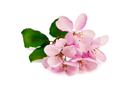 apple blossom: Sprig of pink flowers with green leaves of apple isolated on a white background