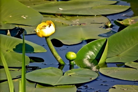 nenuphar: Nenuphar yellow in water against the background of green leaves Stock Photo