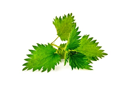 Sprig of green nettle isolated on a white background