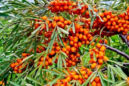 buckthorn: Buckthorn on a branch