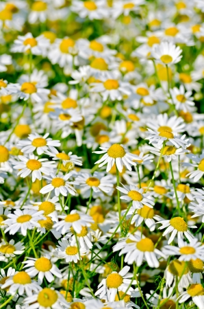 medical field: Texture of flowers white medical field camomile Stock Photo
