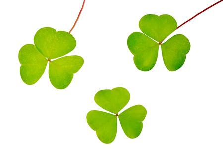 oxalis: Set of three oxalis leaves isolated on white background Stock Photo