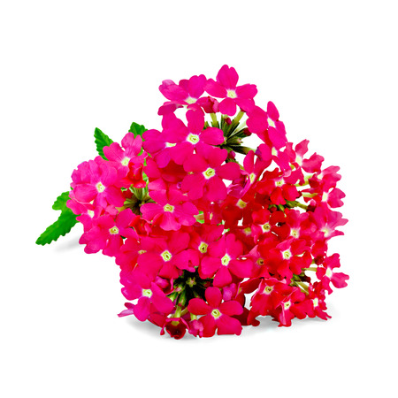 Verbena pink with green leaf isolated on white background Stock Photo