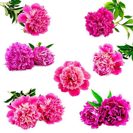 Set of pink peonies with green leaves isolated on white background Stock Photo