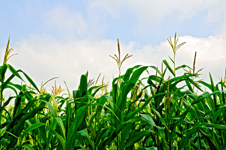 corn stalk: Corn in a corn field on a background of blue sky and white clouds