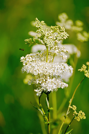 White meadowsweet flower on a background of green grass