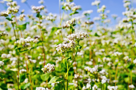 Buckwheat blooming sky photo