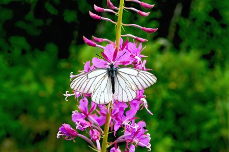 fireweed: Butterfly white on fireweed Stock Photo