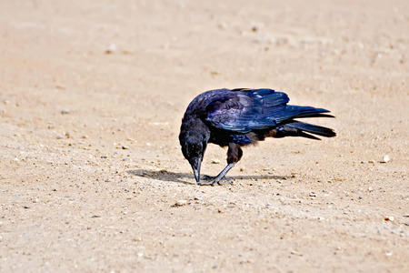 jackdaw: Jackdaw on river sand