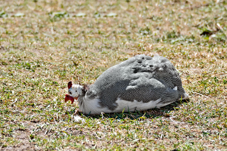 fowl: Guinea fowl sitting on grass Stock Photo