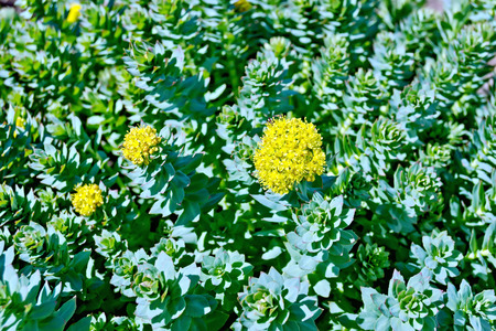 blooming: Rhodiola rosea blooming with green leaves