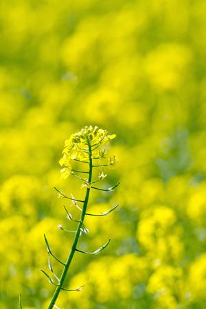 colza: Colza flor amarilla Foto de archivo