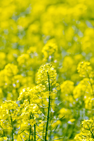 colza: Colza yellow flower on field Stock Photo